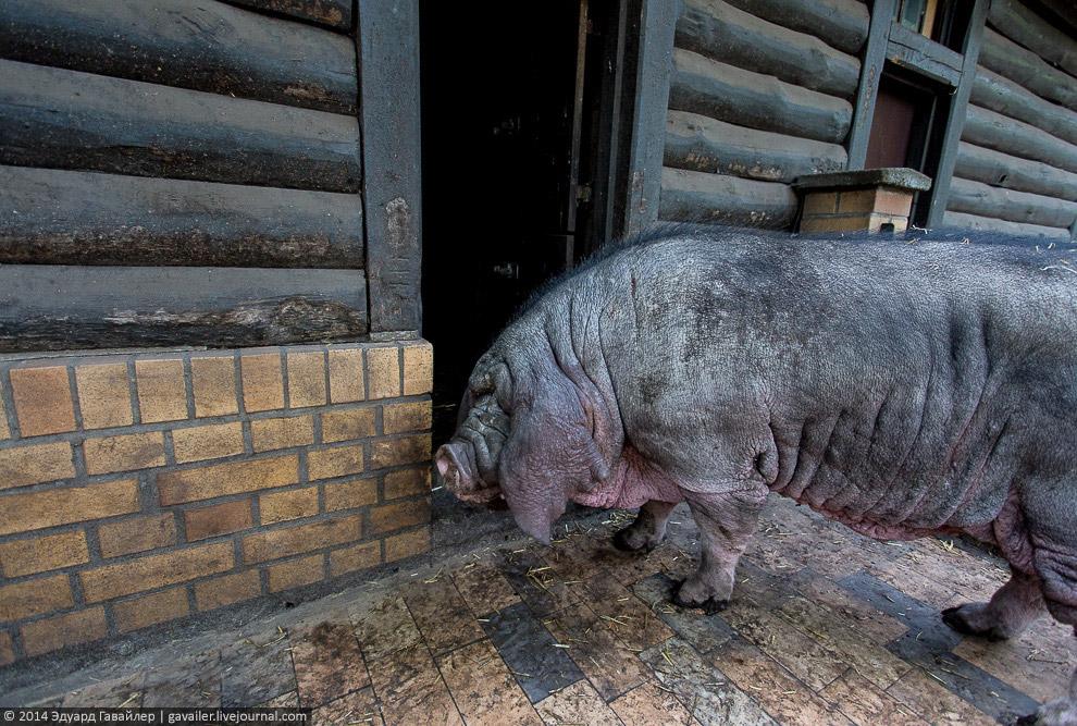 Масковая свинья