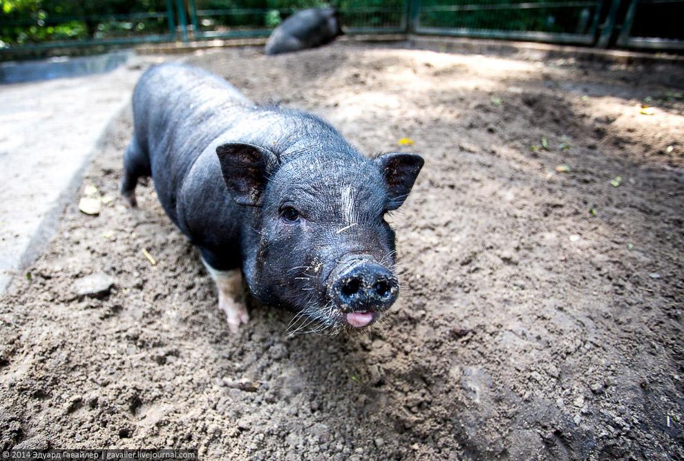 Вьетнамские вислобрюхие свиньи.