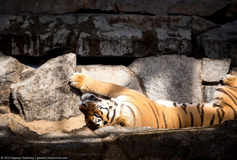 Индокитайский тигр (лат. Panthera tigris corbetti)