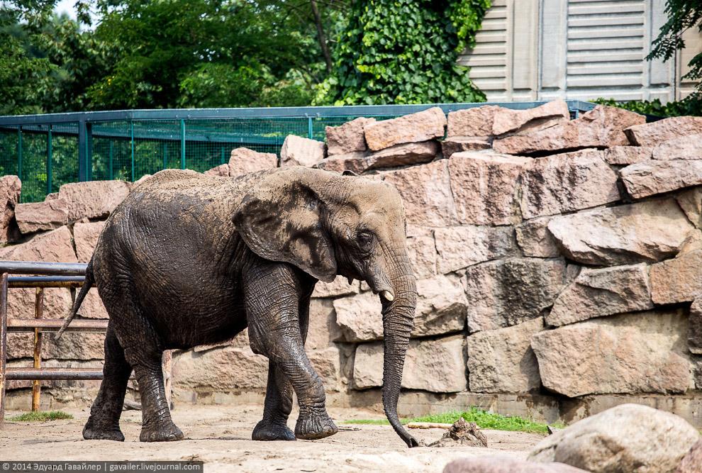 Африканские слоны.