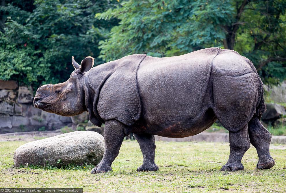 Индийский носорог (лат. Rhinoceros unicornis)