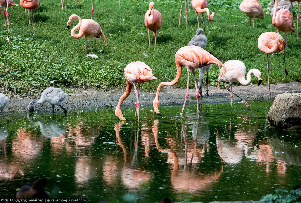 Кубинские и чилийские фламинго