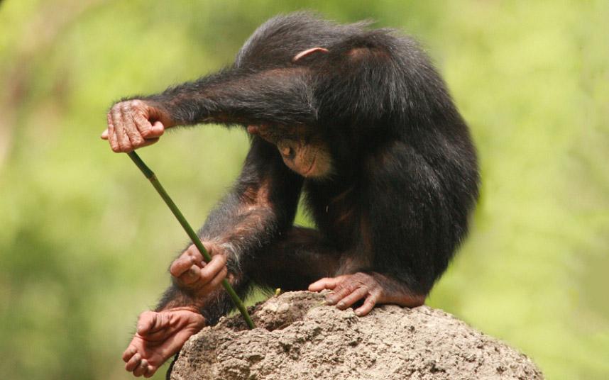 Шимпанзе при помощи палки достает термитов