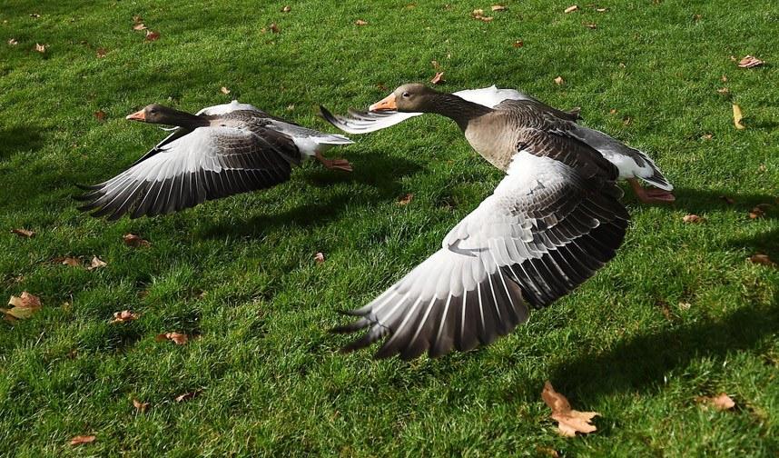 Взлет гусей из парка в Лондоне