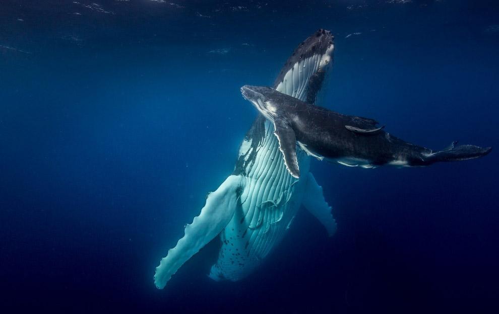 Горбатый кит с китенком в Тихом океане у берегов Фоа, Тонга