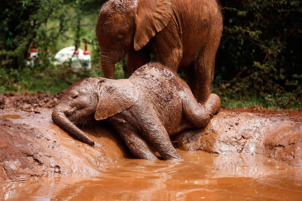 Грязевые ванны для слонов в слоновьем приюте в Национальном парке Найроби