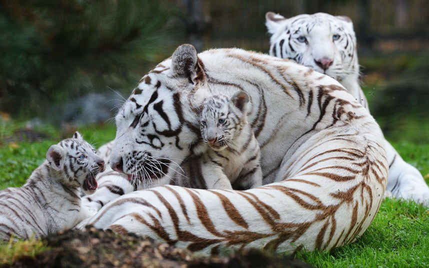 Белая тигрица Ольга играет со своими четырьмя детенышами в зоопарке в Пессаке, Франция