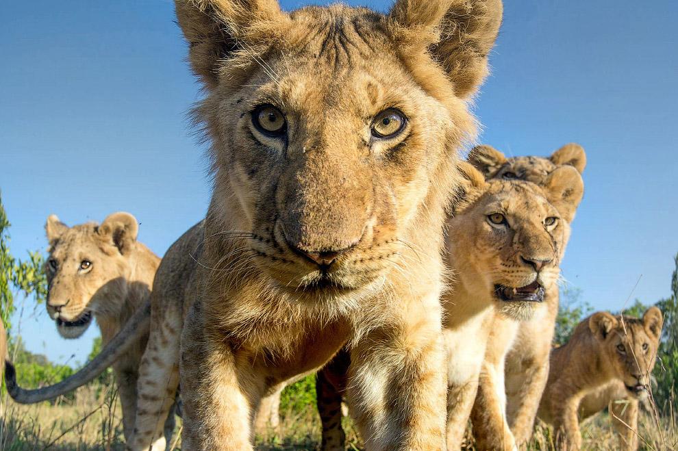 Львята из Кении