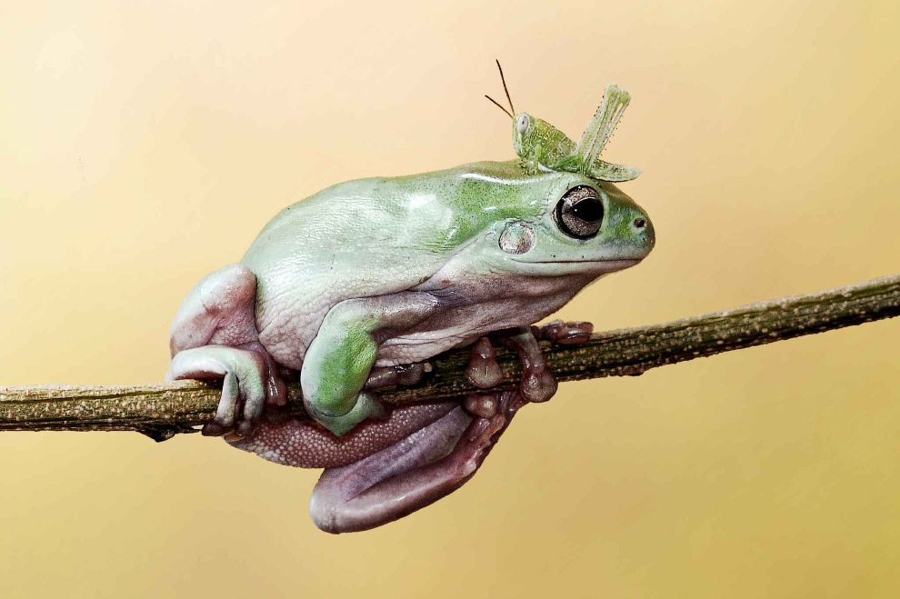 Кузнечик прыгнул и приземлился на лягушку
