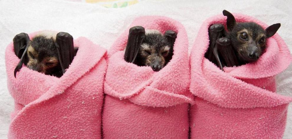Три очаровательные летучие лисицы в госпитале для летучих мышей Tolga, Австралия
