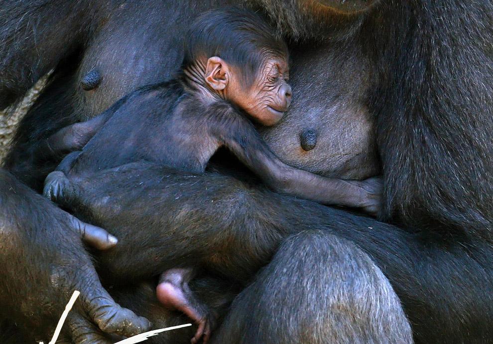 Семья западных равнинных горилл в зоопарке в Сиднее