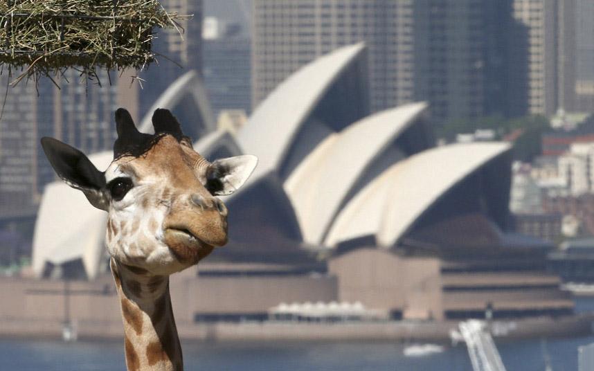 Так выглядит озабоченность у жирафов