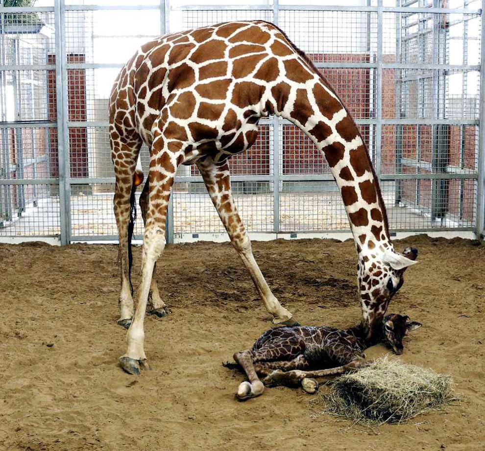 Новорожденный жирафенок в зоопарке в Далласе