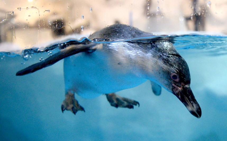 Пингвин в океанариуме в Маниле, Филиппины