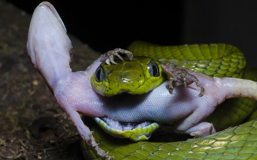 Кошачья змея поймала геккона