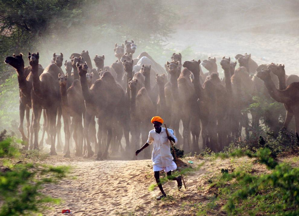 Верблюды со своим пастухом в пустыне в индийском штате Раджастан