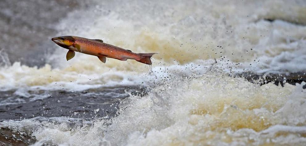 Лосось пытается подняться вверх по реке на нерест в Селкирке, Шотландия