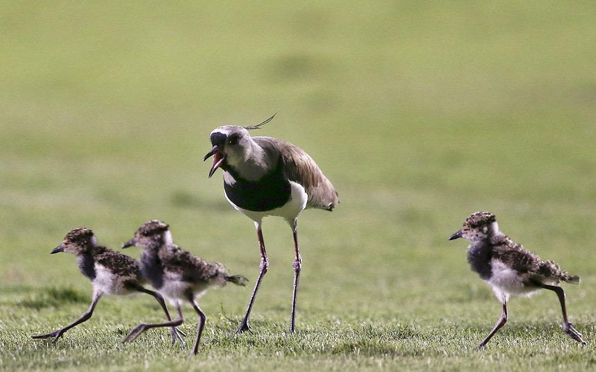 Птица и ее птенцы забрели на футбольное поле в Сан-Паулу, Бразилия