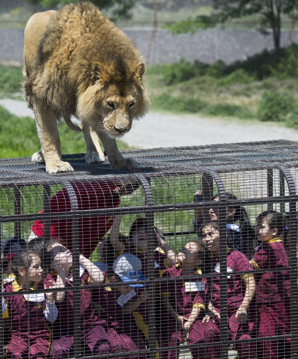 Сафари-парк в Ранкагуа, Чили, где хищники ходят там, где хотят, а люди приезжают к ним в клетках