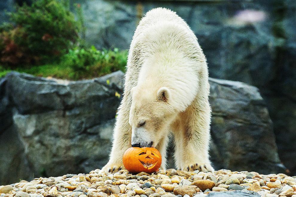 Хэллоуин у белого медведя
