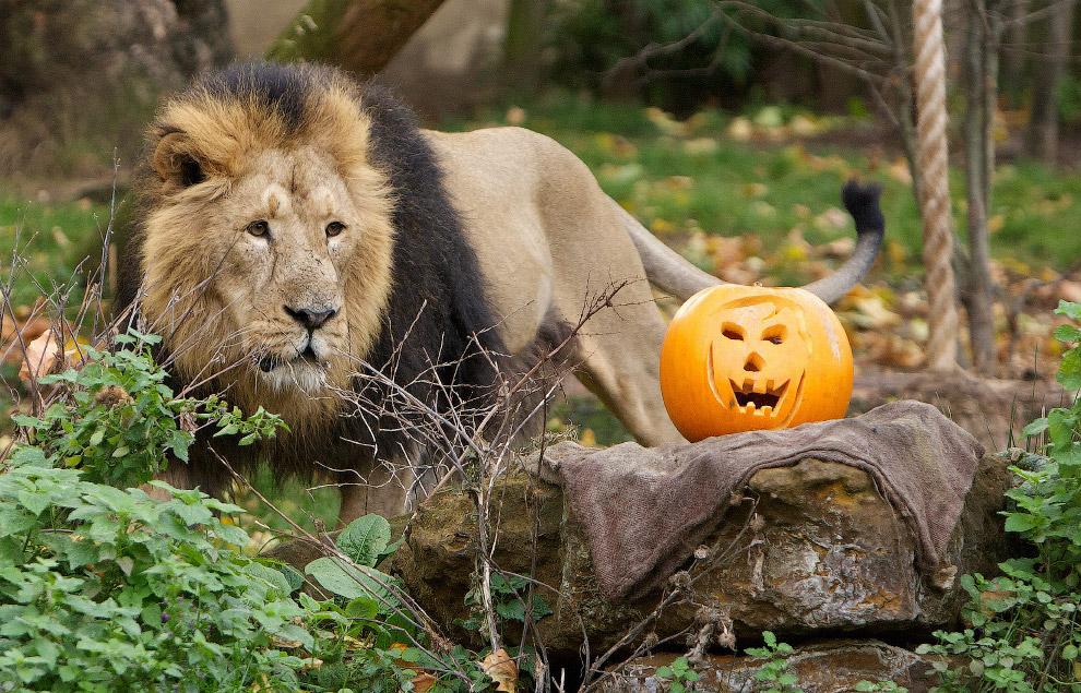 Лев из Лондонского зоопарка