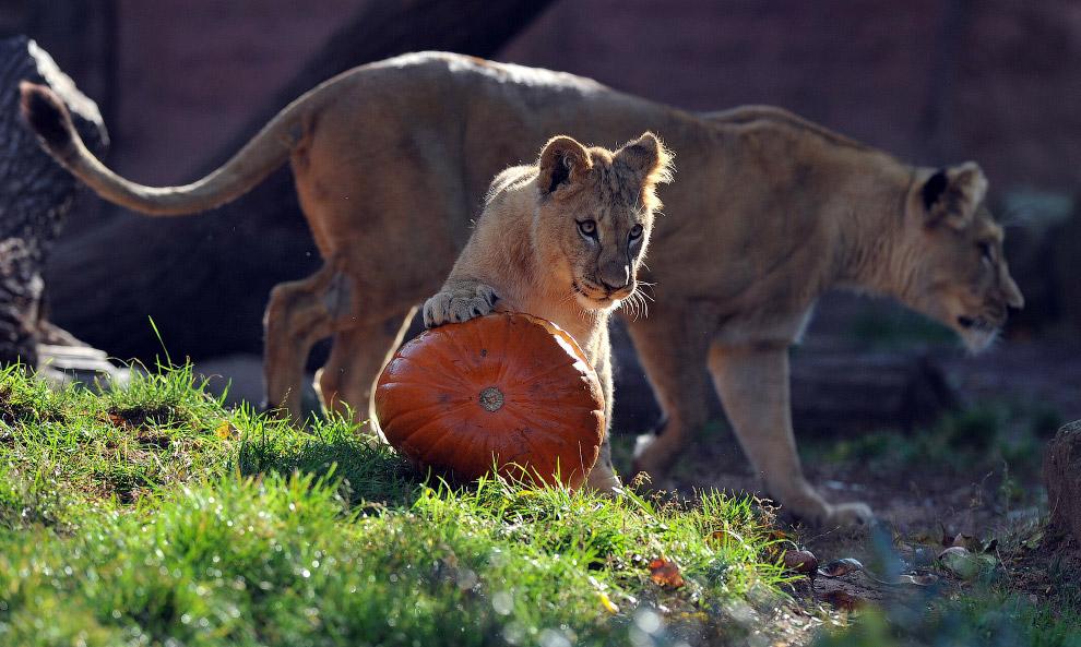 Львам в тыкву положили кусочки мяса