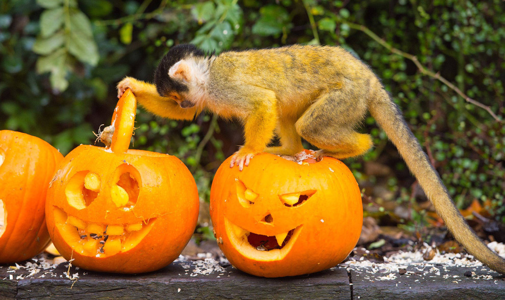 Беличья обезьяна из Лондонского зоопарка изучает внутренность тыквы