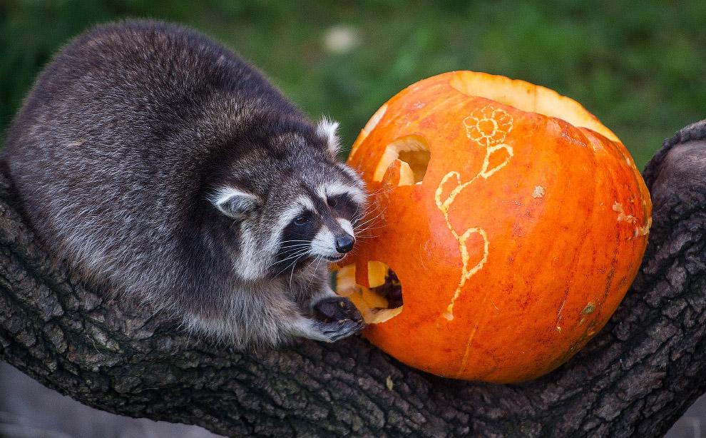Хэллоуин у енота в зоопарке в Ганновере, Германия
