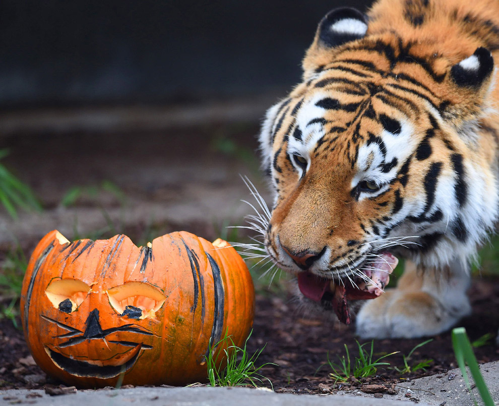 Тигру из Гамбургского зоопарка