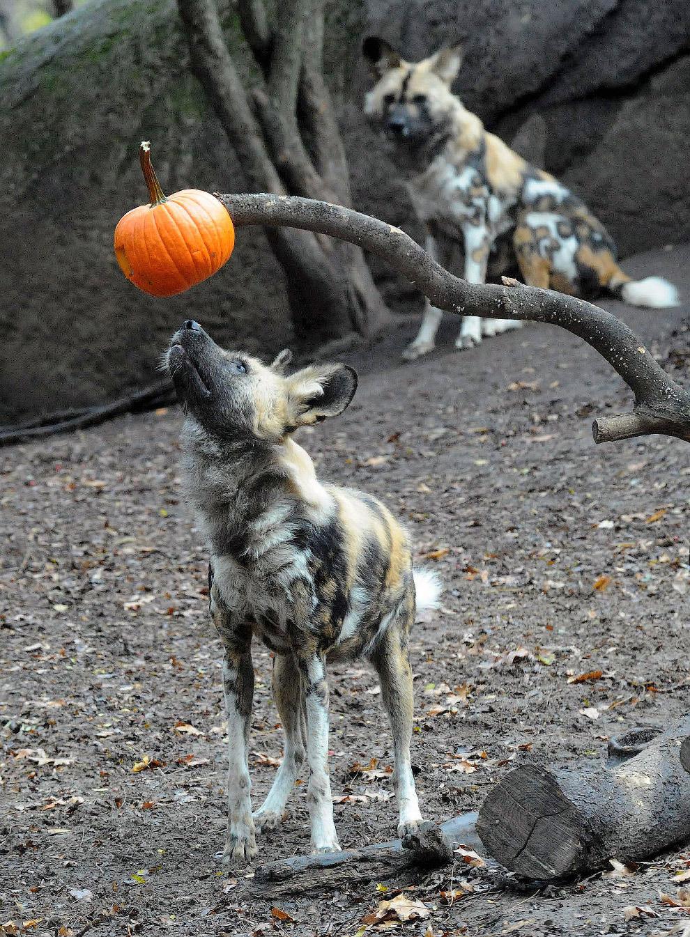 Африканская дикая собака с тыквой в зоопарке города Брукфилд, штат Иллинойс