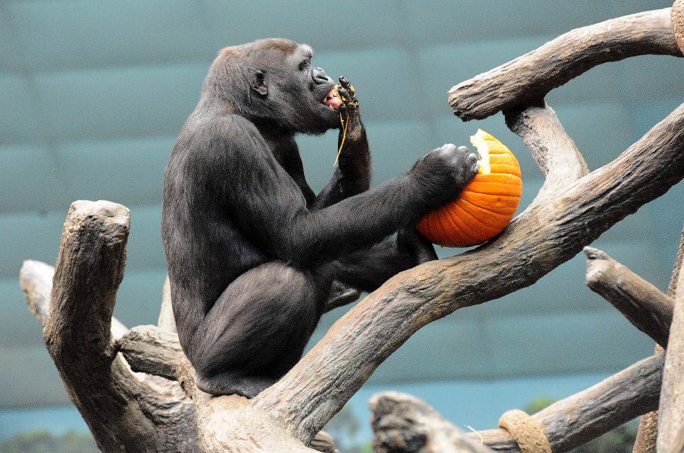 Равнинной горилле из зоопарка в городе Брукфилд, штат Иллинойс тыква на Хэллоуин пришлась по душе