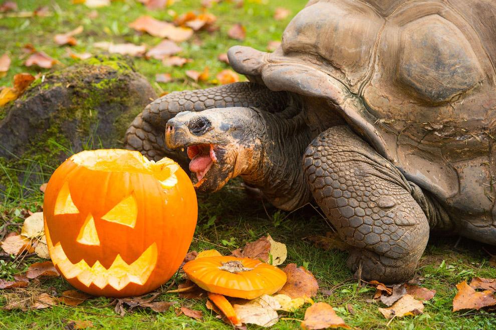 Галапагосская черепаха с тыквой в Лондонском зоопарке