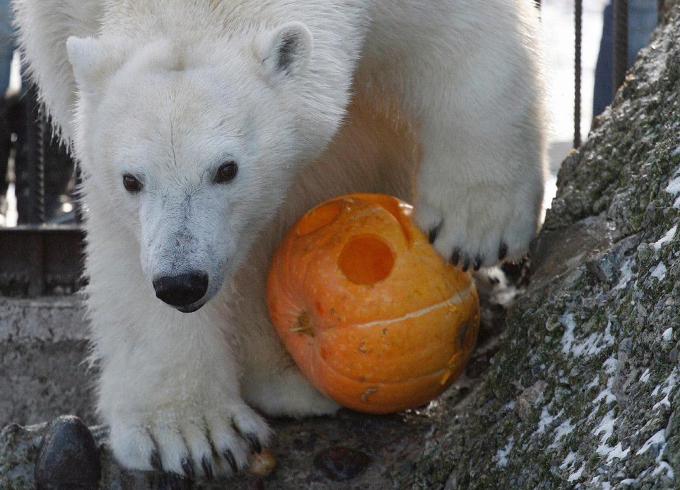 Белая медведица Аврора