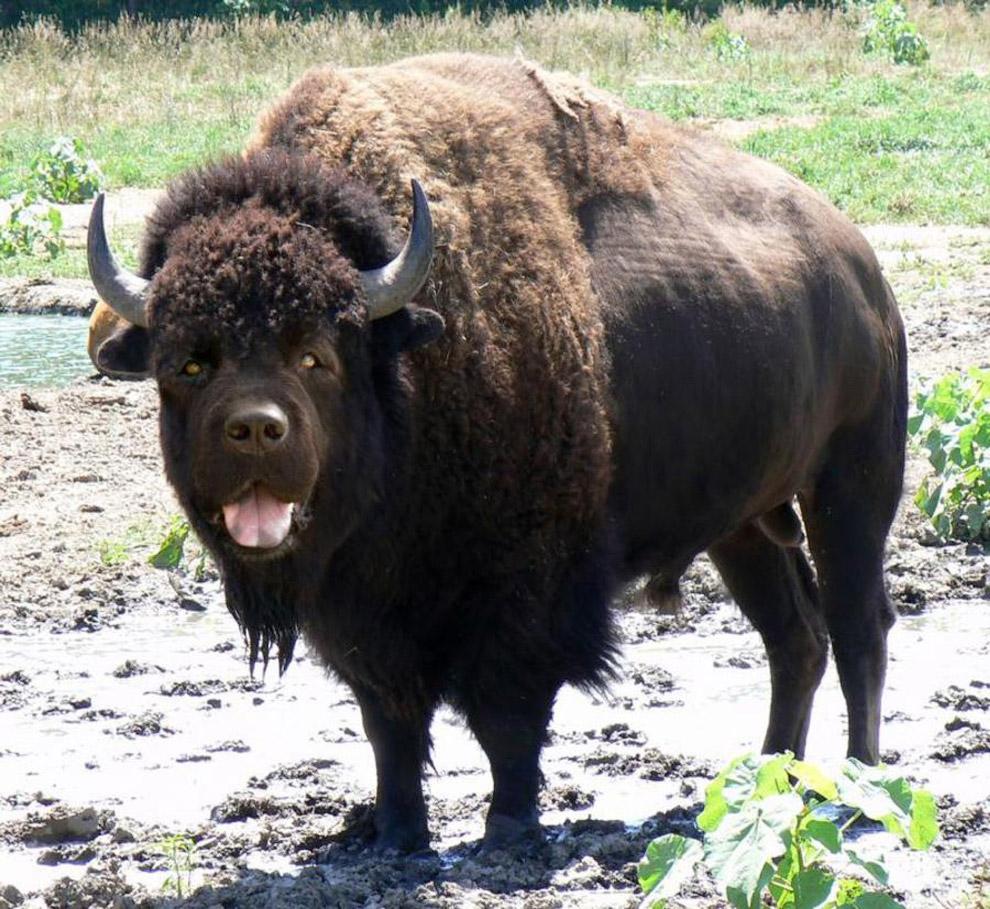Помесь лабрадора и буйвола