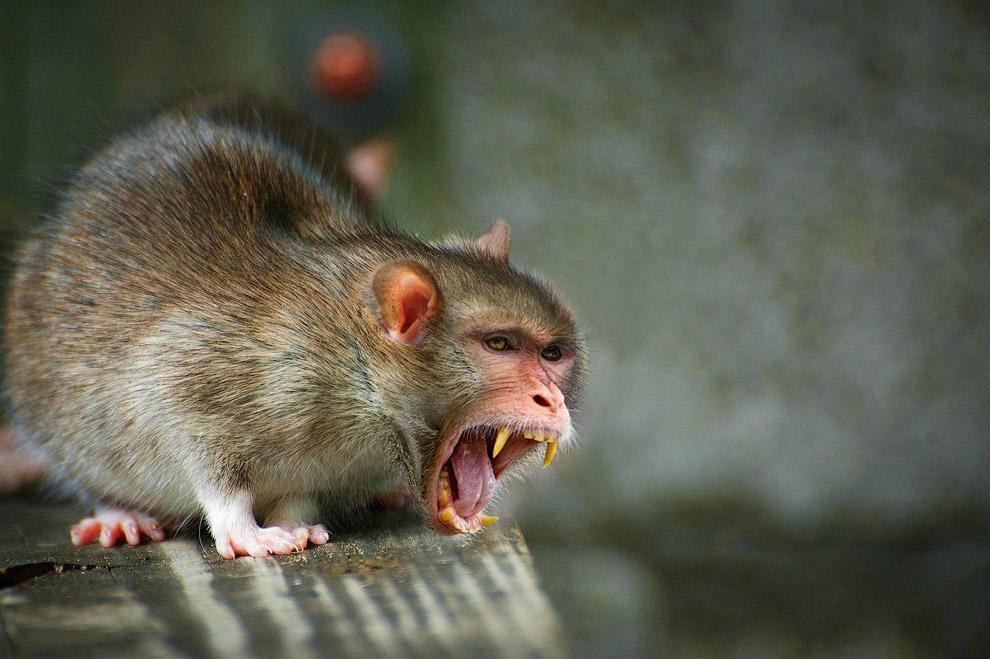 Помесь крысы и макаки