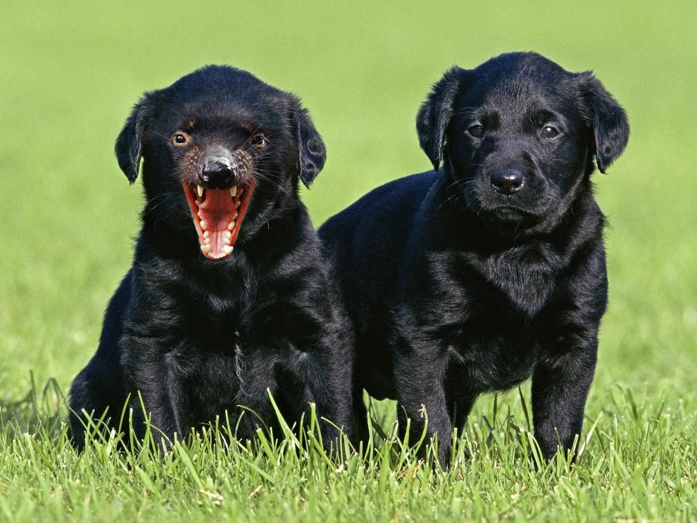 Помесь щенка и тасманского дьявола