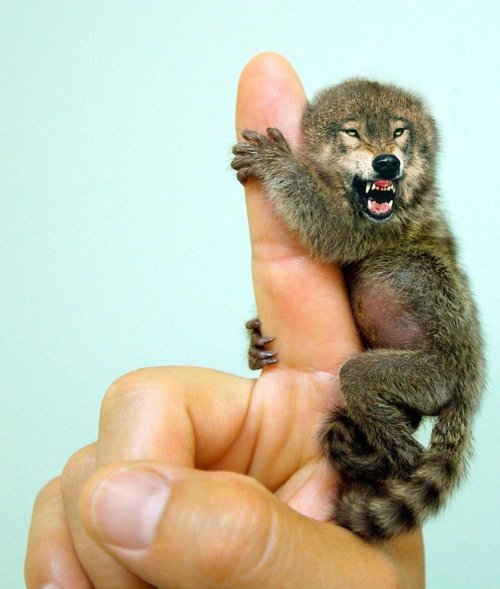 Помесь волка и пальчиковой обезьяны