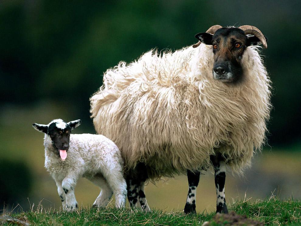 Помесь собаки и овцы