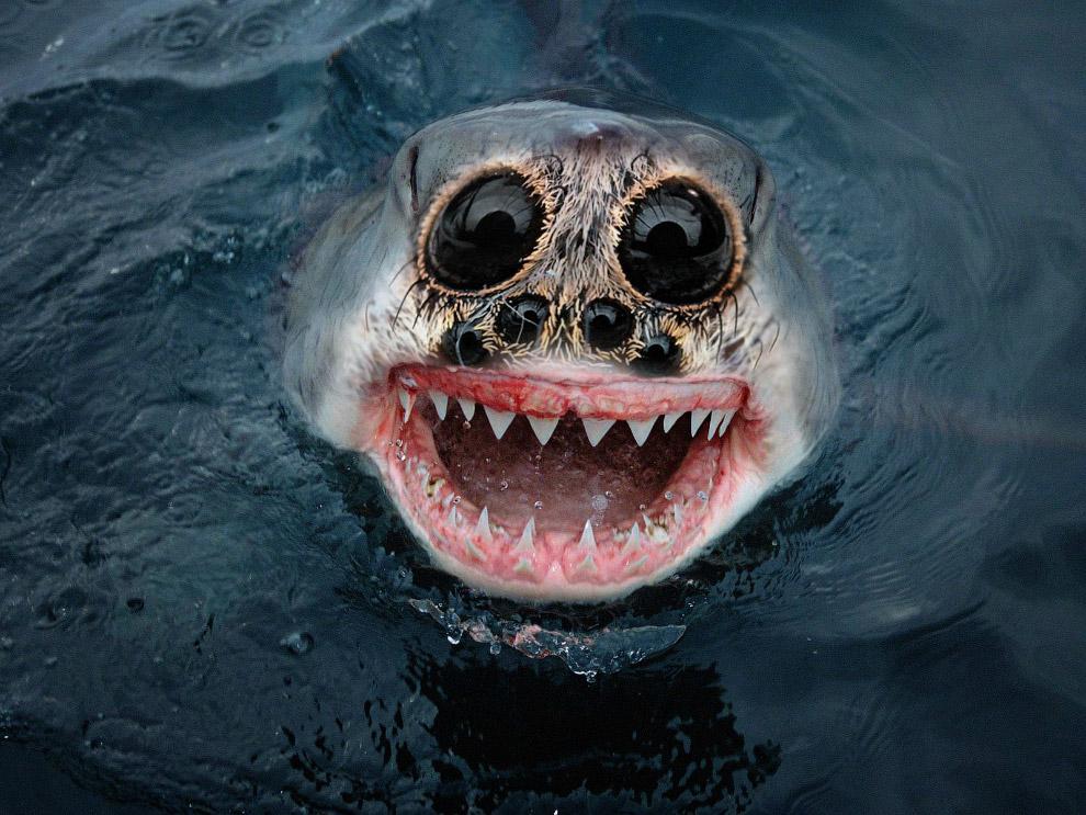 Очаровательный акулопаук