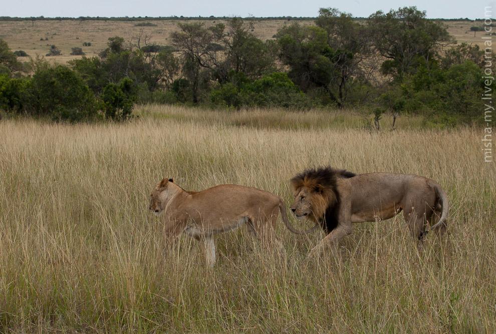 Встретили временно удалившихся из прайда льва и львицу