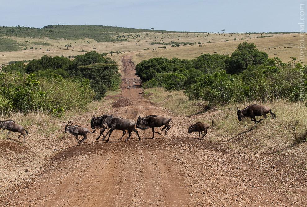 Стадо антилоп