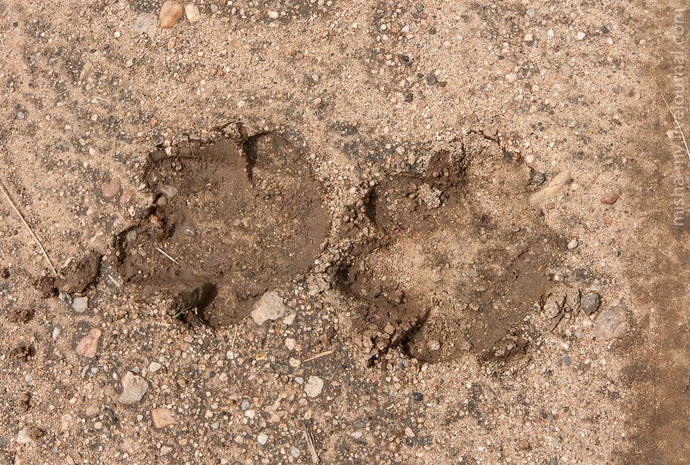 отпечатки копыт бегемотов