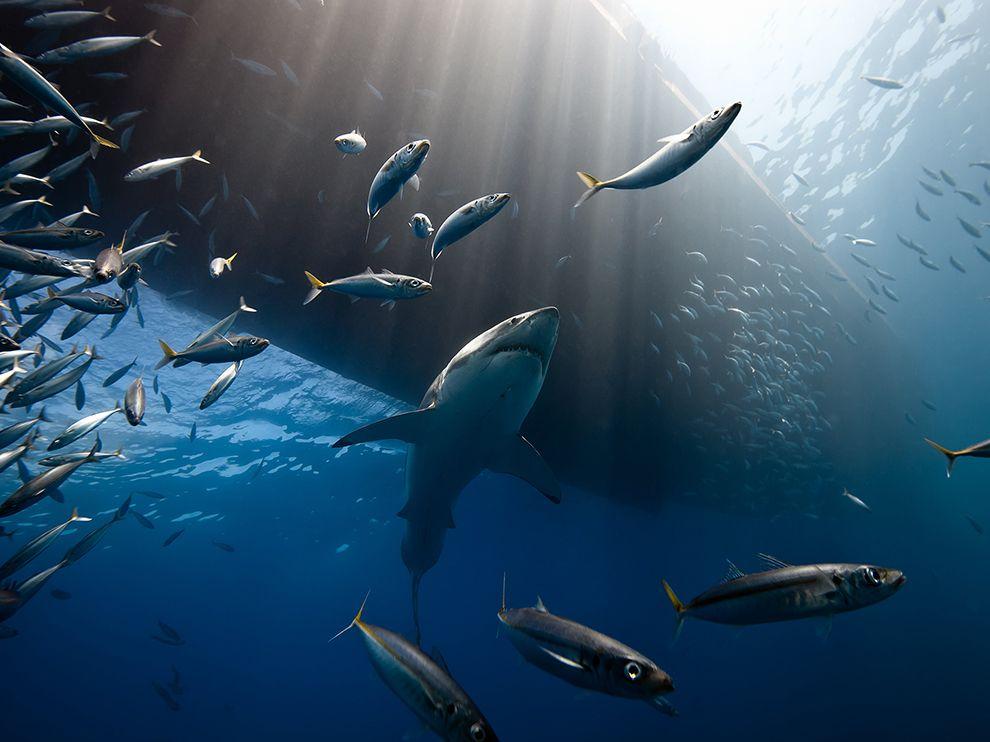 Большие белые акулы собираются у острова Гуадалупе, чтобы поохотиться на морских львов