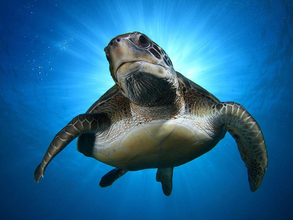 Зеленая черепаха на побережье Тенерифе на Канарских островах