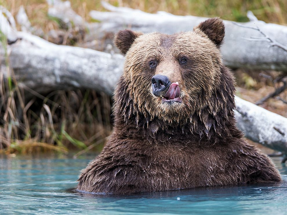 Медведь в Национальном парке и заповеднике Озеро Кларк, Аляска