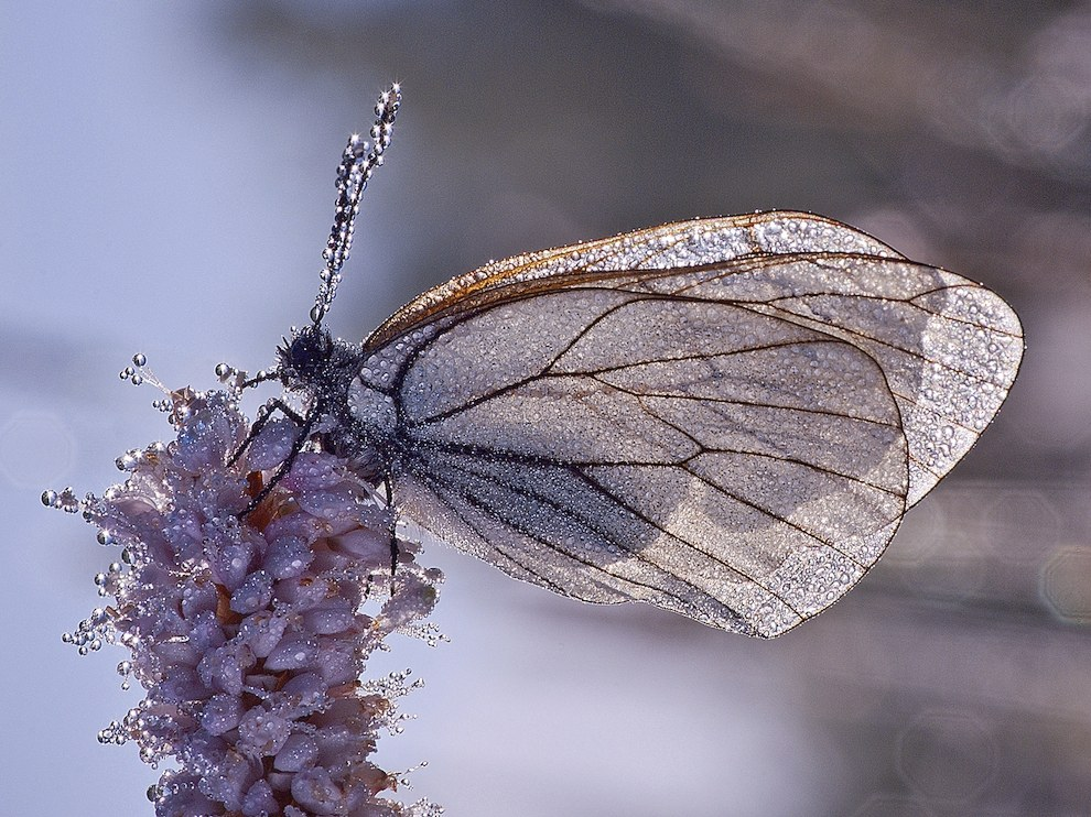 Бабочка в утренней росе