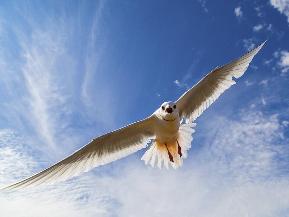 Розовая чайка, Якутия