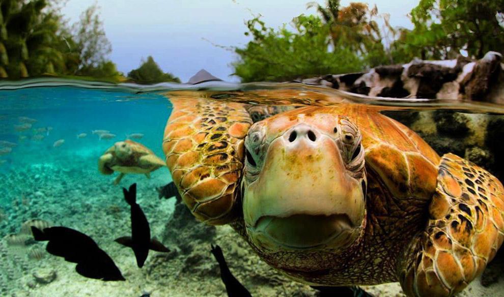 Черепахи Бора-Бора