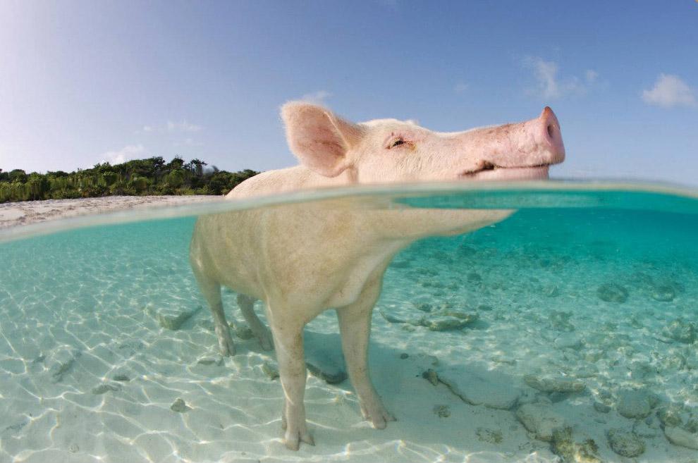 Неожиданно: поросенок на Багамах.