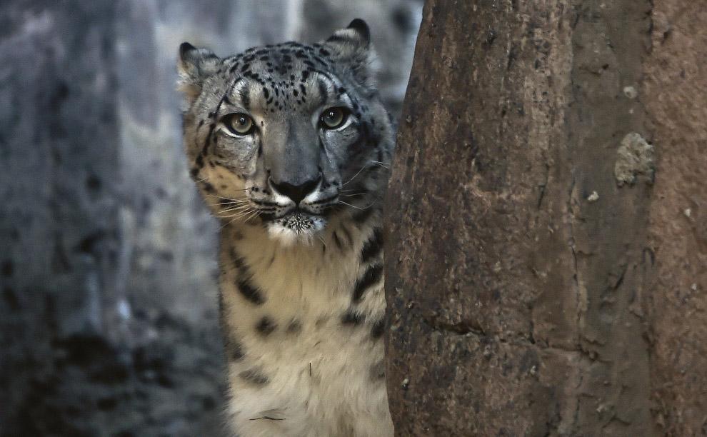 Снежный барс в зоопарке в Мехико